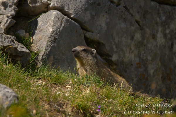 Marmota marmota #3