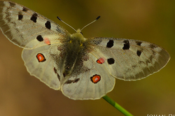 Parnassius apollo #2