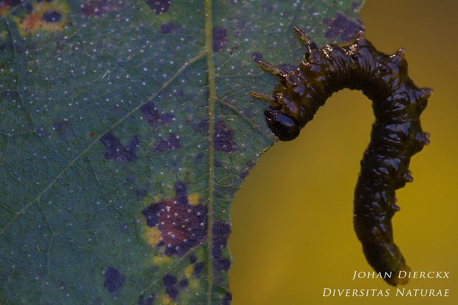 Craesus latipes - Larva
