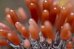 Stemonitopsis typhina - detail