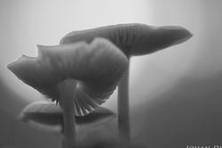 Mycena galericulata (B&W)