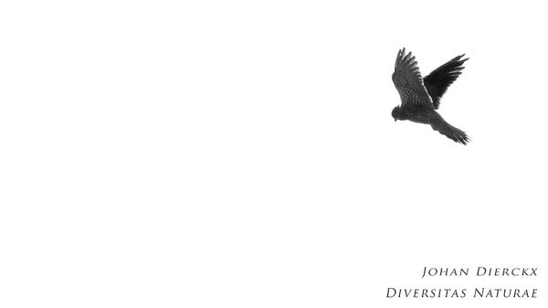 Falco tinnunculus (B&W #2)