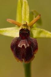 Ophrys x hybrida