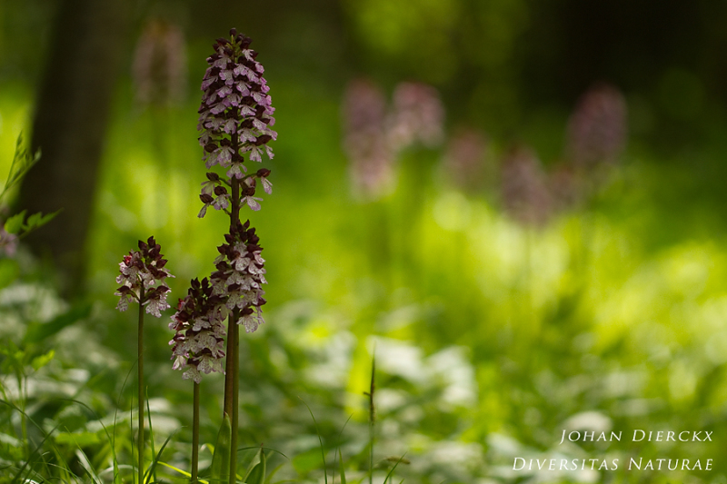 Orchis purpurea #2