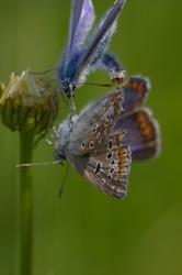 Polyommatus icarus - Courtship display