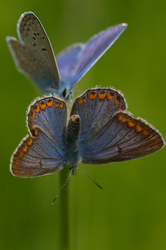 Polyommatus icarus - Courtship display #2
