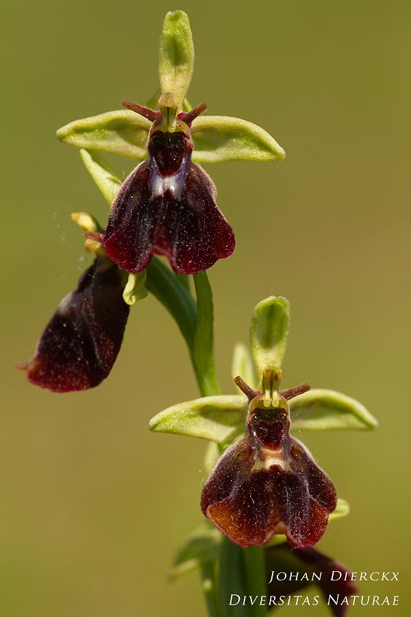 Ophrys x devenensis