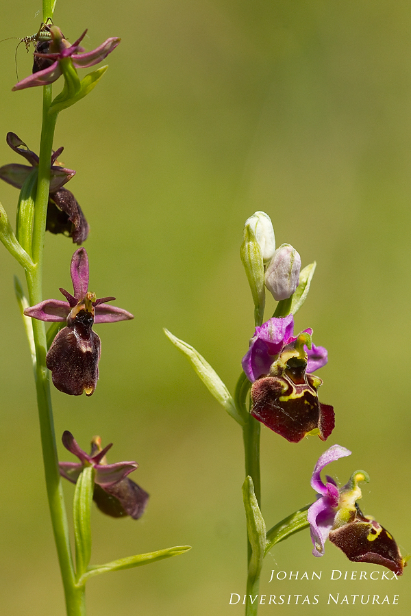 Ophrys x devenensis + Ophrys fuciflora
