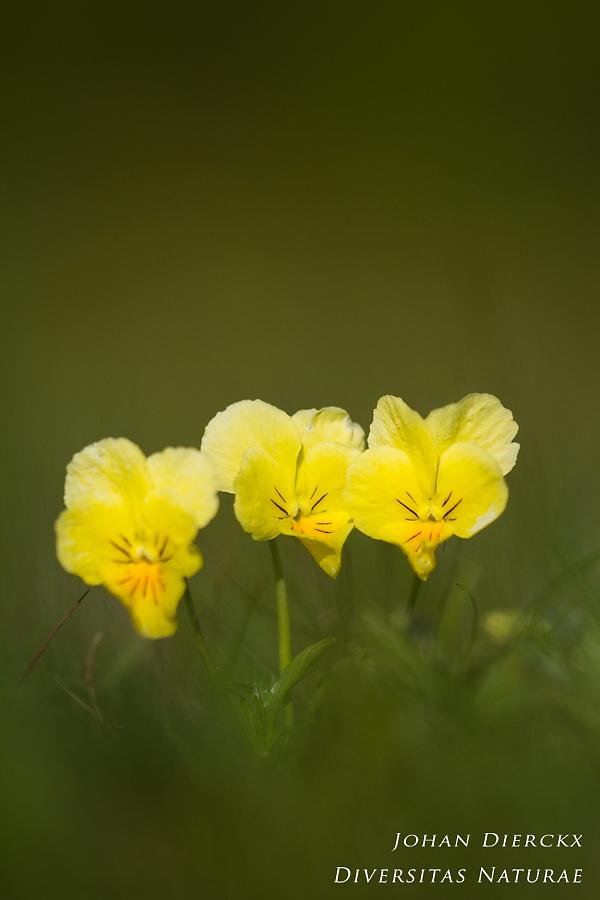 Viola lutea #2