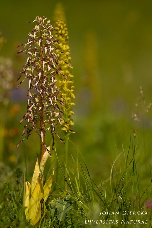 Himantoglossum hircinum & Orchis anthropophora