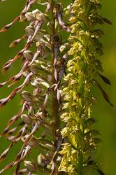 Himantoglossum hircinum & Orchis anthropophora #2