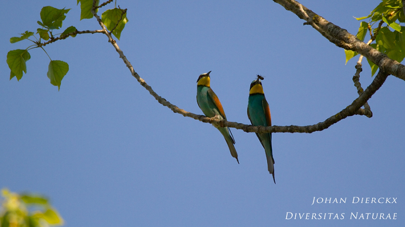 Merops apiaster : male offering female a bee 1/4