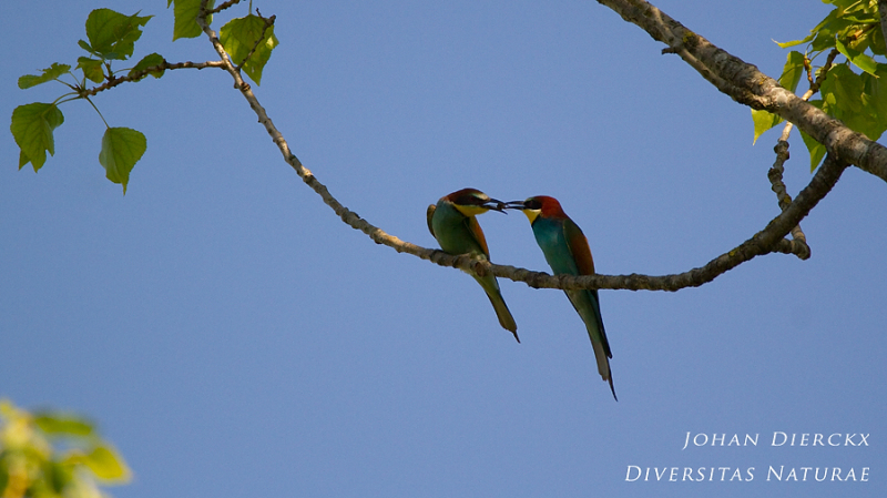 Merops apiaster : male offering female a bee 2/4
