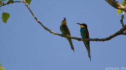 Merops apiaster : male offering female a bee 3/4