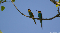 Merops apiaster : male offering female a bee 4/4