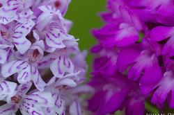 Dactylorhiza maculata & Anacamptis pyramidalis