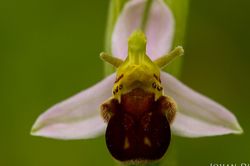 Ophrys apifera var. curviflora