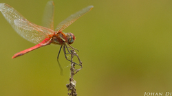 Sympetrum fonscolombii