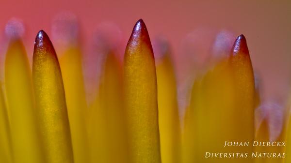 Echinacea purpurea - detail