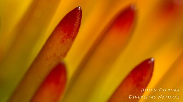 Echinacea purpurea - detail #3