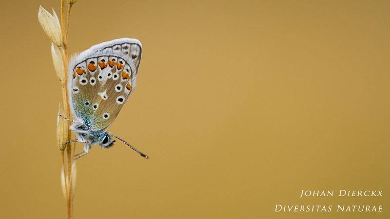 Polyommatus icarus #2
