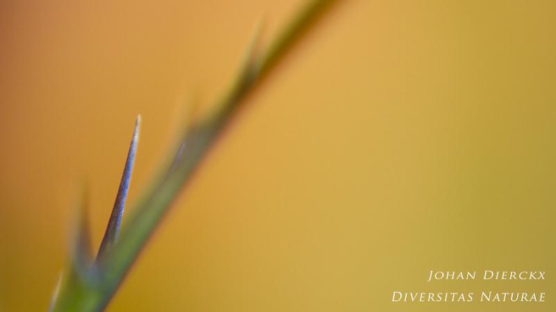 Eryngium sp. - detail