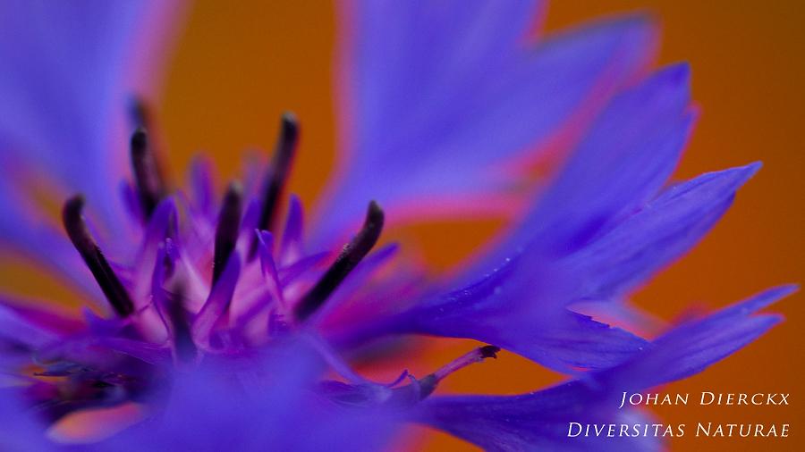 Centaurea cyanus #2