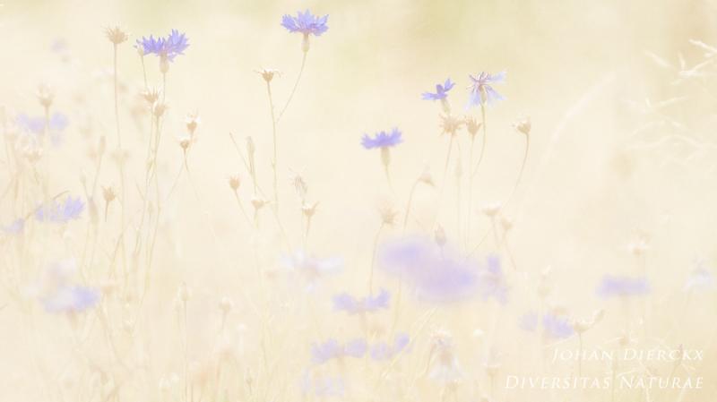 Centaurea cyanus #3