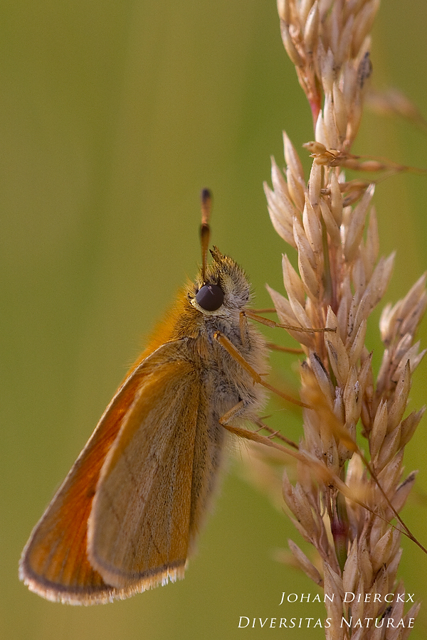 Thymelicus lineola #2