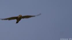 Falco tinnunculus #2