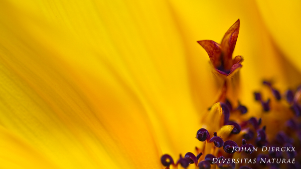 Helianthus sp. - detail #3
