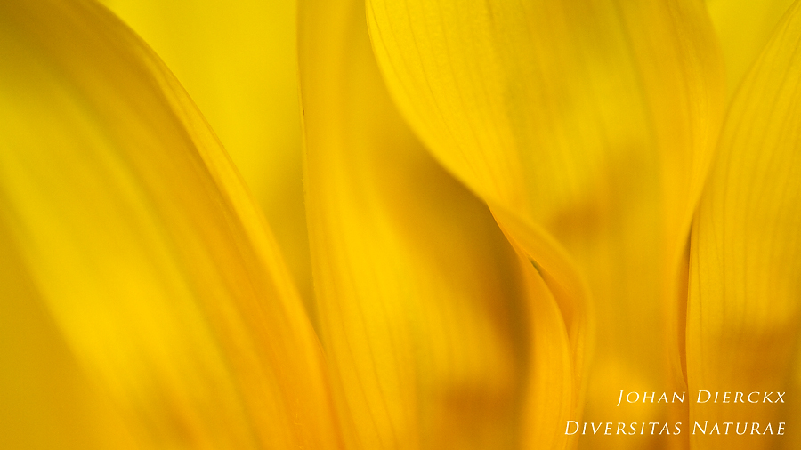Helianthus sp. - detail #4