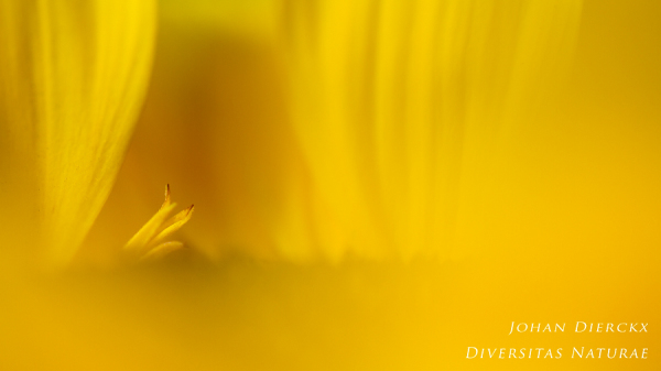 Helianthus sp. - detail #5