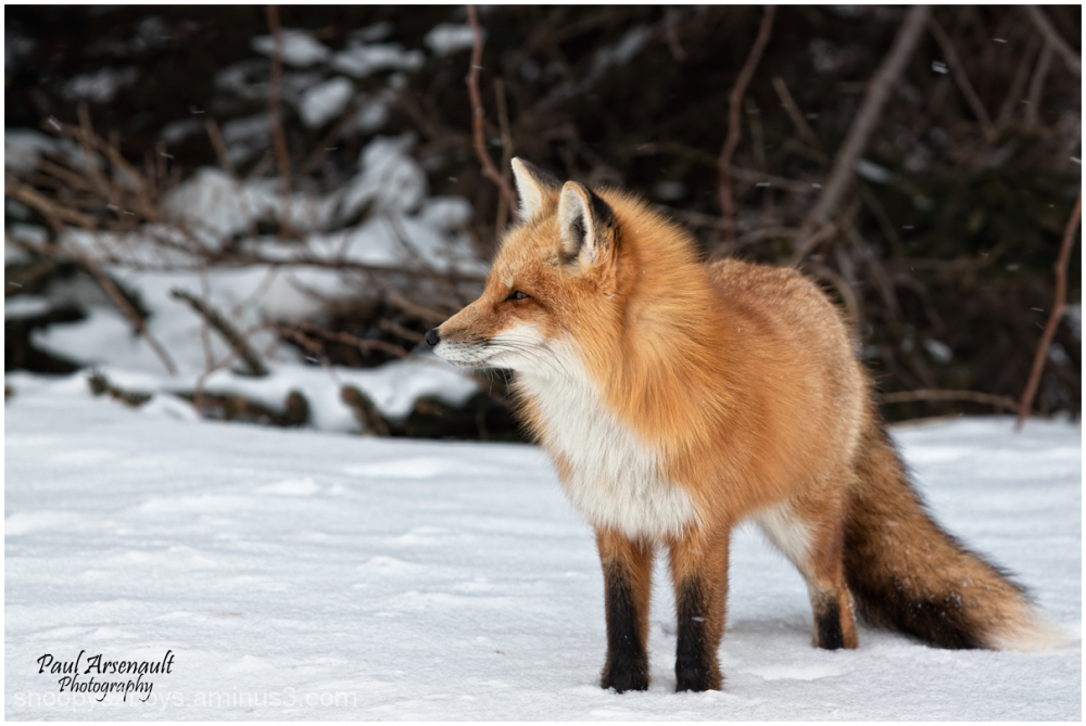 Just another fox!!!!