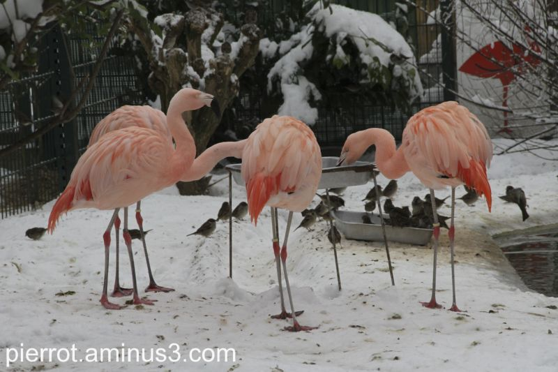 animaux flamands