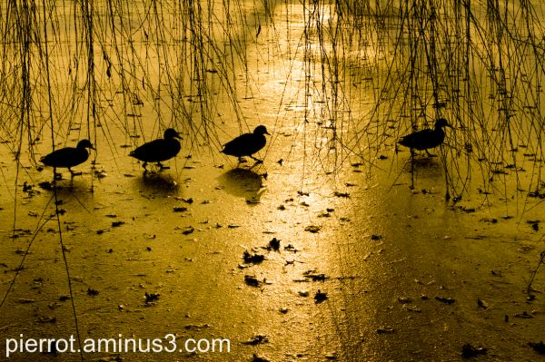 coucher de soleil animaux canards