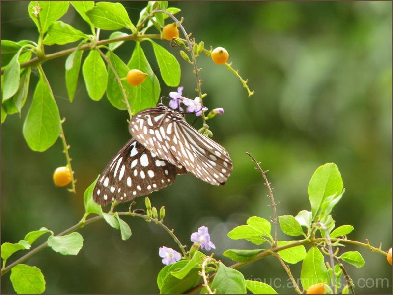 Butterfly @ Auroville - Pondicherry - India
