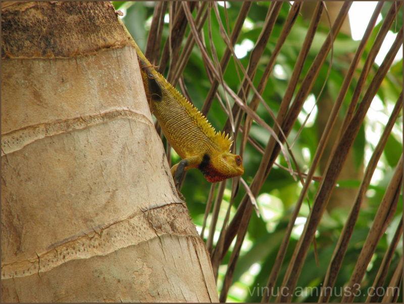 Chameleon on Coconut tree @ Pondicherry - India