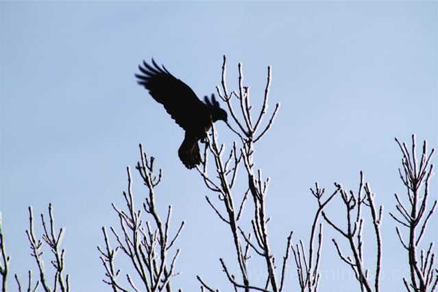 The Eagle Has Landed! Well...the crow has, anyway.