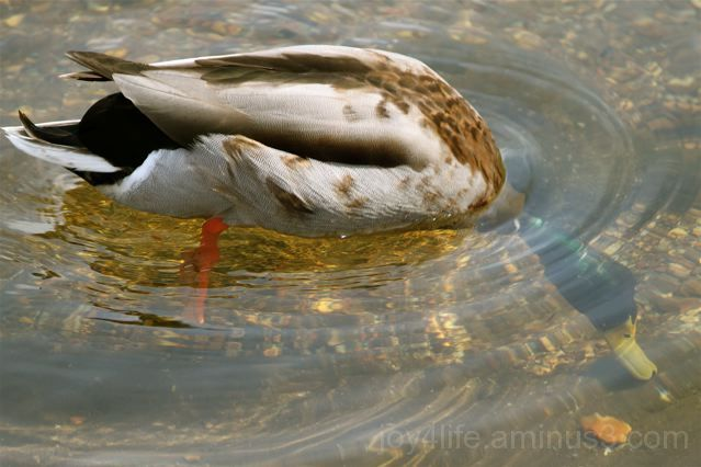 Underwater Duckie