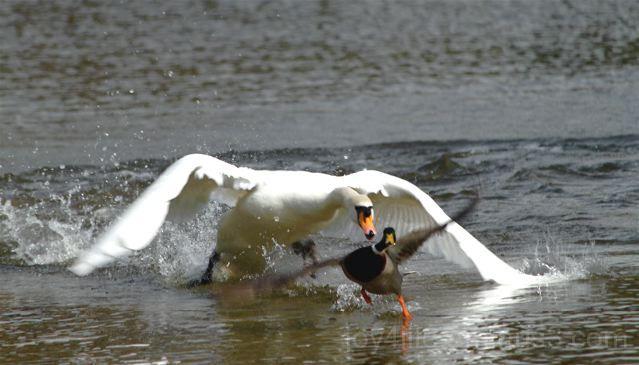 Duckie In Seeeeerious Trouble!