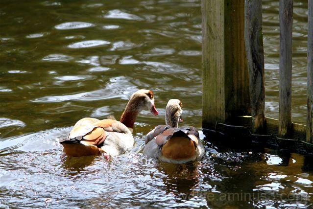"""""""This way, darling?"""" (Gentleman Duckie In Love)"""