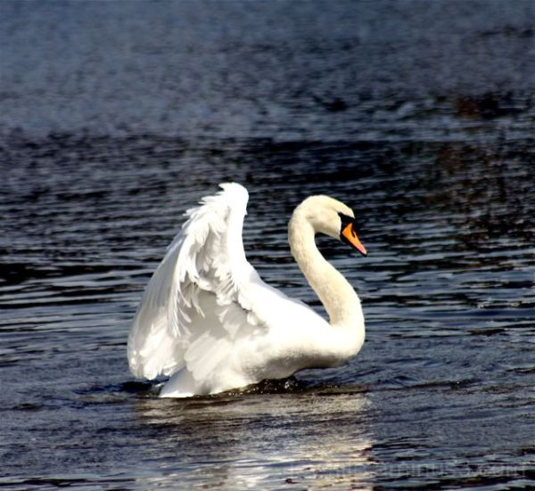 Angel Swan