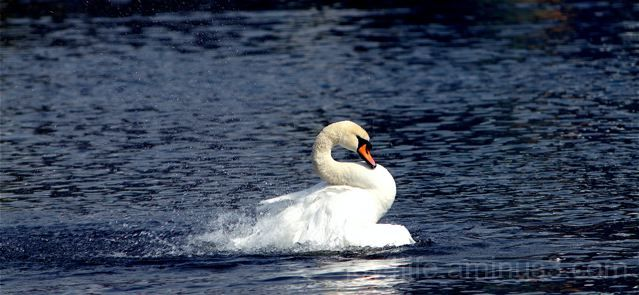 Windup Swan