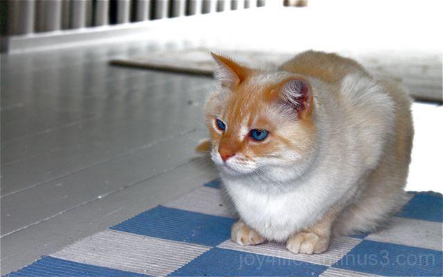 Alfie The Blue Eyed Cat