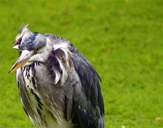 Heron - Blowing In The Wind