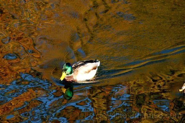 Duckie I