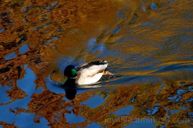Duckie II