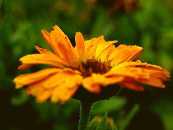 rainy flower