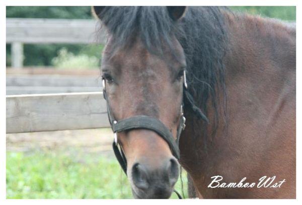 木曽馬 Kiso horse
